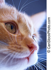 Lunar cat - Attractive face of a red cat on a dark blue...