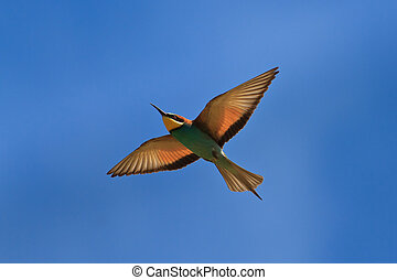 european bee-eater Merops Apiaster in fly