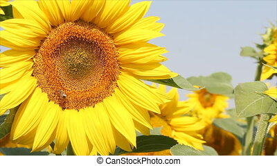 bee and sunflower field