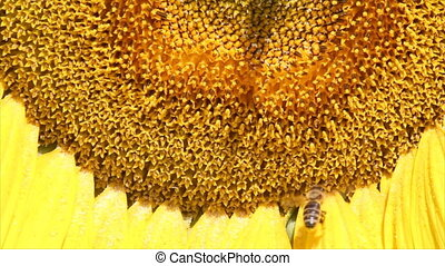 bee on sunflower close up