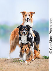 composition of the three dogs border collie and sheltie in...