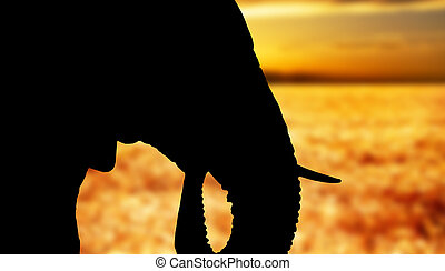 African elephant head - close up at sunset - Silhouette of...