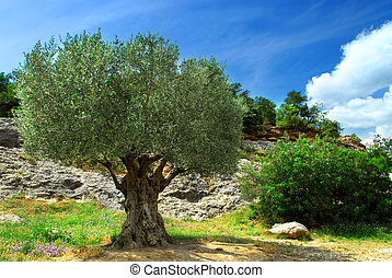 Old olive tree - Ancient olive tree growing in southern...