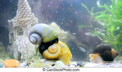 apple snails in aquarium