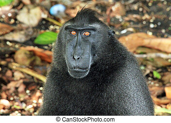 Portrait of a Black MacaqueCelebes Crested Macaque Macaca...