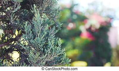 Cypress tree close up follow focus to tropical trees on...