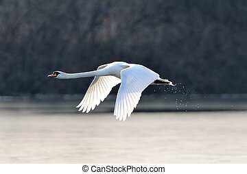 Mute swan in flight - A mute swan in flight just after...