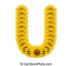 alphabet U, sunflower isolated on white background