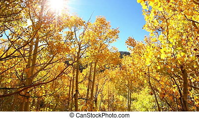 Fall Colors, Vibrant Aspen Trees - Colorful Aspen Trees in...