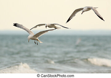 Three Ring Billed Gulls in Flight - Three Ring-billed Gulls...