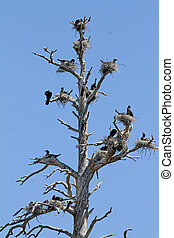 Double-crested Cormorant Nests - Double-crested Cormorant...