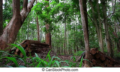 redwood trees in forest