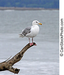 Glaucous-winged Gull 2