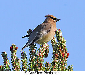 Cedar Waxwing on Pine branch 4