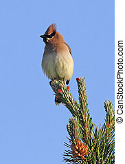 Cedar Waxwing on Pine branch 3