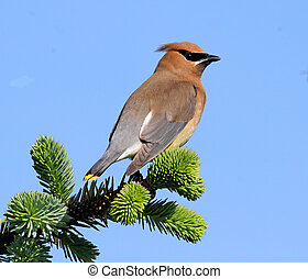Cedar Waxwing on Pine branch 1