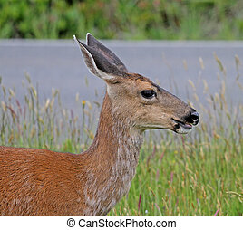 Black-tailed Deer portrait 2