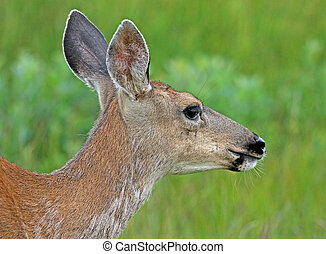 Black-tailed Deer portrait 1