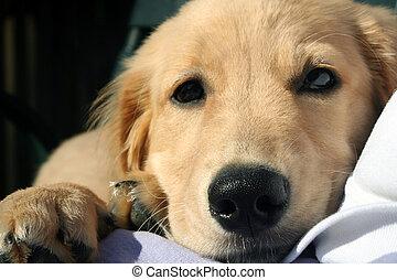 Cuddly Puppy - Closeup of a Golden Retriever puppy relaxing...