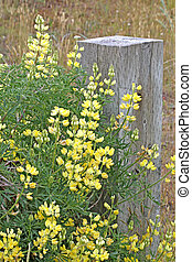 Pale Yellow Lupine