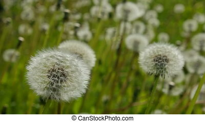 Overview of white dandelion - The transition focus from...
