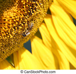 bee on sunflower macro