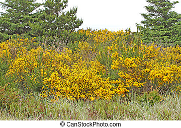Gorse bushes at Ocean Shores, WA - Yellow-flowered Gorse...