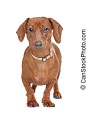 short haired dachshund standing in front of a white...