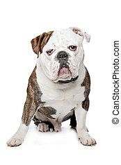 Old English Bulldog in front of a white background