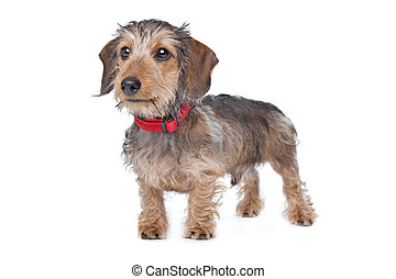 Wire-haired Dachshund in front of a white background