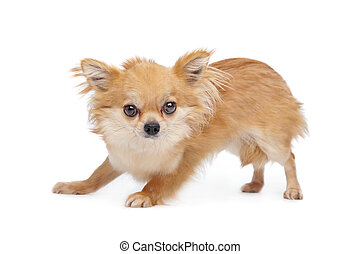 Brown long haired chihuahua in front of a white background