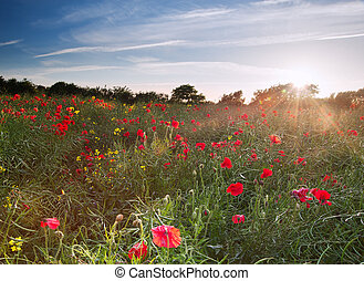 Poppy field landscape in English countryside in Summer -...