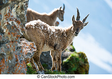 Two young alpine ibex lat Capra ibex on Brienzer Rothorn,...