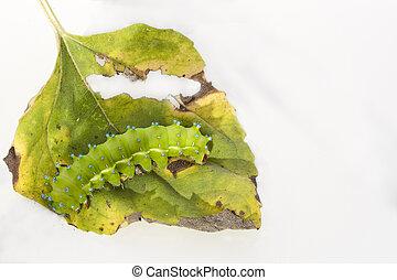 Huge emerald green caterpillar - Caterpillar of a giant silk...
