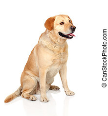 Beautiful Labrador retriever adult isolated on white...