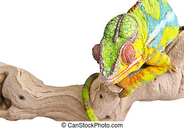 Colorful chameleon. - Big colorful chameleon on over white...