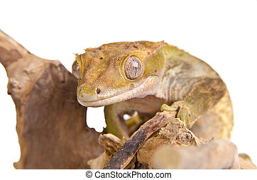 Crested gecko on a branch, isolated on white background.
