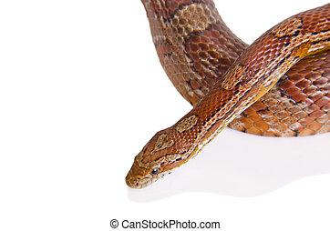 Corn snake against white background