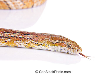 Corn snake against white background