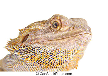 Bearded dragon portrait on over white background.