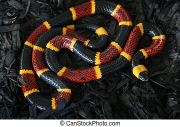 Coral Snake on Black 3 - Coral Snake on Black background