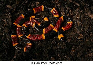 coral,  2, negro, serpiente