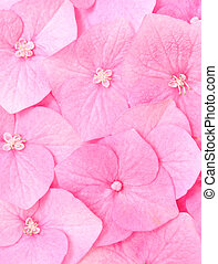Hydrangea flower - Pink background of hydrangea fowers