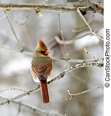 Cardinal - Female cardinal perched on a tree branch