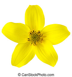 Yellow Wild Flower with Five Petals Isolated