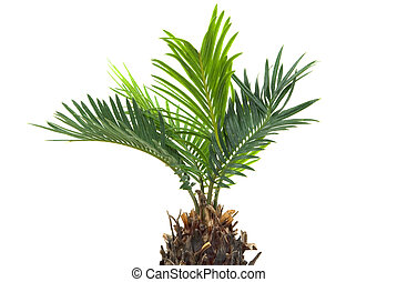 Palm Tree - Real dwarf palm tree isolated on white...