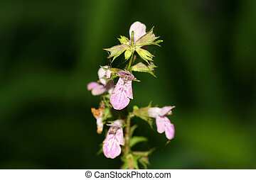 flowers - a kind of plant named stachys