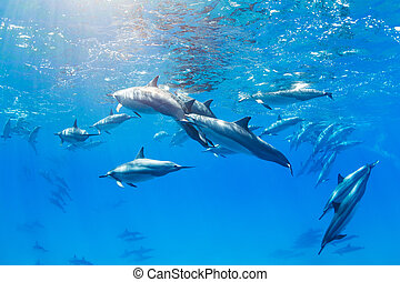 Dolphins Underwater - Dolphins Swimming in the Ocean,...