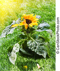 beautiful sunflower in the sunshine - Close up image of a...
