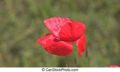 red poppy 2 - beautiful red poppy